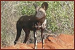 Kwara Safari, Wildhund im Tsavo Ost National Park